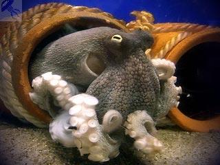 осьминог в своем домике